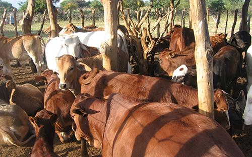 Beef production in Plumtree