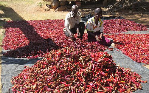Paprika farming in Hurungwe