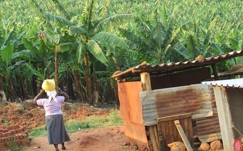Banana farmer in Honde Valley