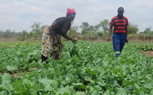 Vegetable farming in Masvingo