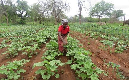 Vegetable farming under irrigation in Chiredzi