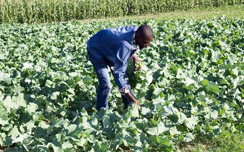 Vegetable farming in Gokwe